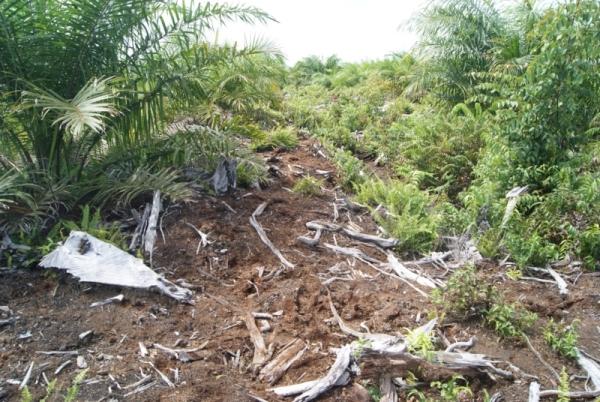 Kekeringan di lahan perkebunan via Greenjournalist